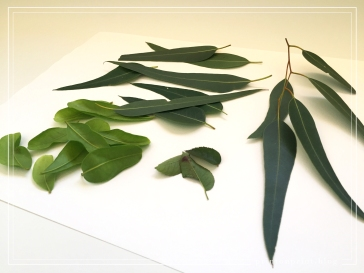 How to: Leaf Printing. Fresh eucalyptus and other leaves.